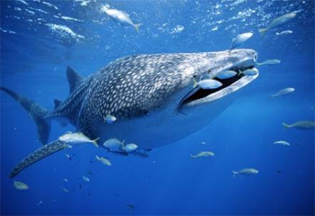 Посмотреть новость Горбатый кит в Рижском заливе?