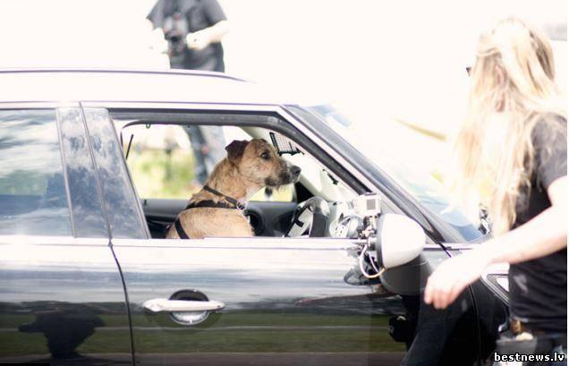 Посмотреть новость Собака за рулём автомобиля?