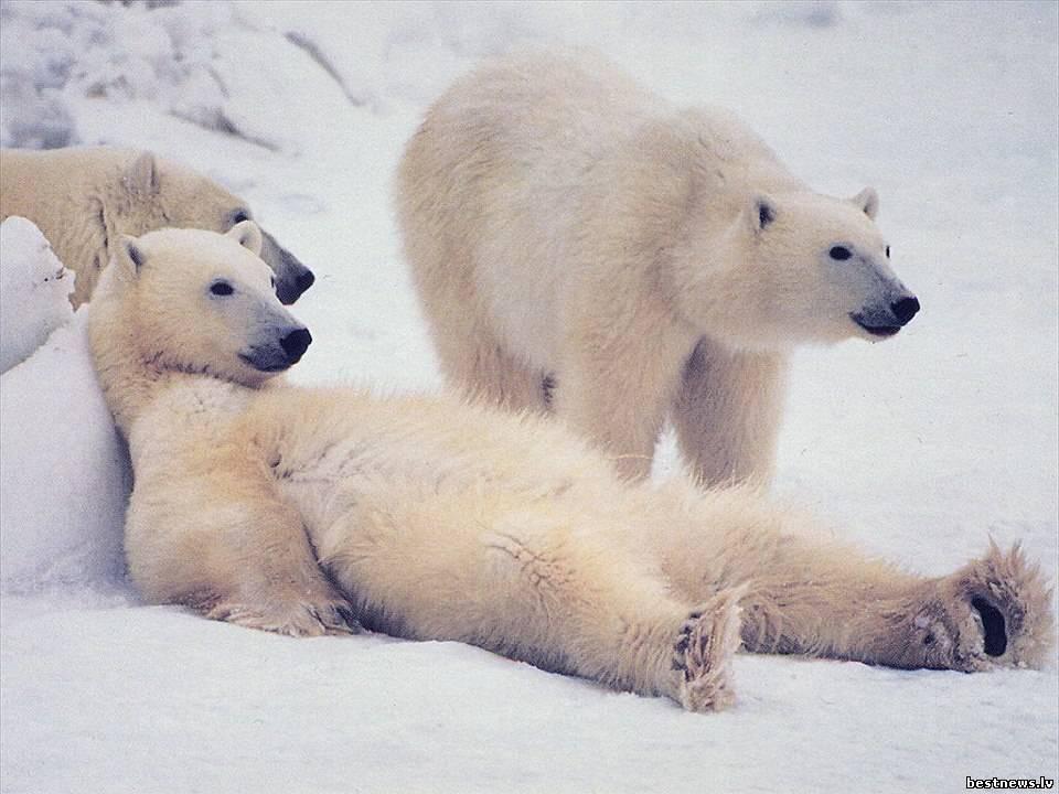 Посмотреть новость День полярного медведя
