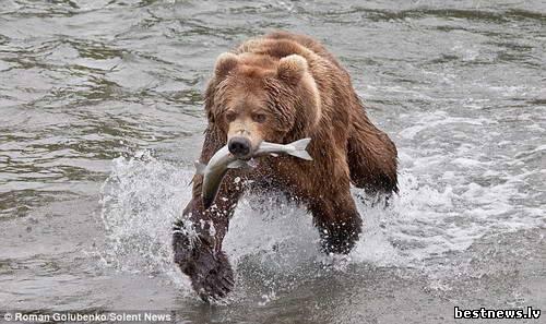 Посмотреть новость Медвежья рыбалка на Аляске