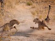 Этот редкий кадр был снят в Ботсване. Леопард (слева) решил схалявить и вместо охоты отобрать у гепарда только что пойманную добычу. Завязалась потасовка. Но леопард — это более сильная и крупная кошка, и гепарду пришлось отступить.
