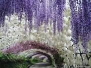 Тоннель из цветов, в японском саду Кавати Фудзи