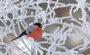 Снегирь на заснеженной ветке... По красоте снегирь занимает одно из первых мест среди вьюрковых российской фауны.